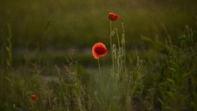 Red poppies in rain stock footage