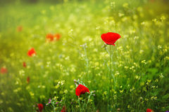 Red poppies in rays sun. Red poppy flowers blooming in the green grass field, floral sunny natural spring background stock photo