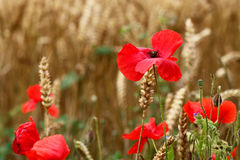 Red Poppies - for Remembrance Day. (Corn Poppy) Royalty Free Stock Photo