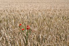 Red poppies between the ripening wheat ears. Big field with wild growing red flowering poppies between the ripening wheat ears. It is a sunny day in the Dutch Royalty Free Stock Photos