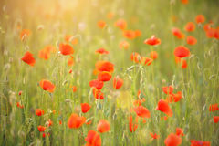 Red poppies with rose against the light, growing in the meadow. Stock Photo