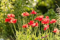 Red poppies. With selective focus. Red poppies. With selective focus Stock Images
