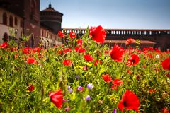 Red poppies Sforza Castle. In Milan Stock Photography
