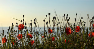 Red poppies  on the shore of the sea Stock Image