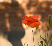 Red poppies and silhouette Royalty Free Stock Images