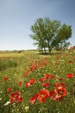Red poppies and single tree in springtime field of Southern Spain Royalty Free Stock Images
