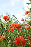 Red poppies and sky. Royalty Free Stock Image
