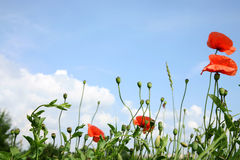 Red poppies and sky. Stock Photo