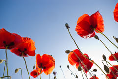 Red poppies on sky Royalty Free Stock Images