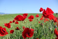 Red poppies on small earth stock image