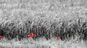 Cornfield and Poppies Royalty Free Stock Photography