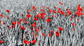 Cornfield and Poppies Stock Photos