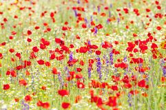 Red poppies and spring flowers in the meadow Stock Image