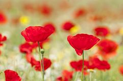 Red poppies and spring flowers in the meadow Stock Images