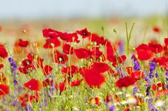 Red poppies and spring flowers in the meadow Royalty Free Stock Images