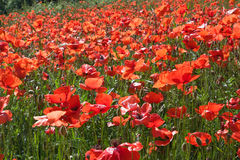 Red poppies in spring green field Royalty Free Stock Photos