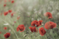 Red poppies on a spring landscape Royalty Free Stock Photography