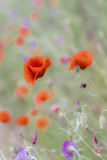 Red poppies on a spring landscape Stock Photo