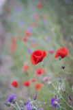 Red poppies on a spring landscape Stock Image
