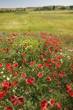 Red poppies in springtime field of Southern Spain Stock Image