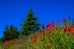 Red Poppies. And spruce trees in San Juan Islands Washington State royalty free stock photos