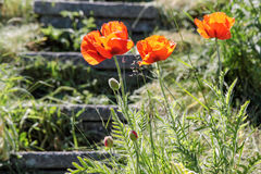 Red poppies on a staircase Royalty Free Stock Images