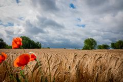 Some red poppies stand in front of a brown cornfield and the sky is full of dark clouds royalty free stock photos