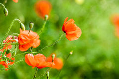 Red poppies in summer Royalty Free Stock Image