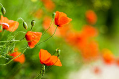 Red poppies in summer Stock Images
