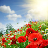 Red poppies on summer field Stock Image