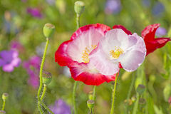 Red poppies. Summer meadow with red poppies Stock Photo