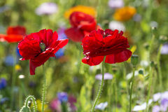 Red poppies Royalty Free Stock Photo