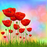 Red poppies Royalty Free Stock Photos
