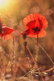 Red poppies. In summer morning on the field Stock Photos