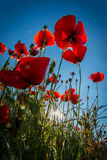 Red poppies with sunbeam Stock Photos