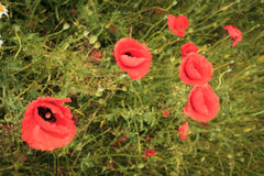 Red poppies in sunny summer meadow Royalty Free Stock Image