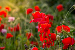 Red poppies at sunset Royalty Free Stock Photo