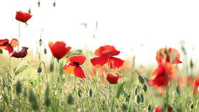 Red poppies stock video
