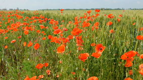 Red poppies swaying in wind stock video footage