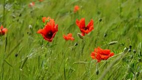 Red poppies in the field stock video footage