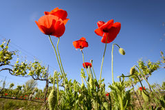 Red Poppies in a Texas Vineyard Royalty Free Stock Photos