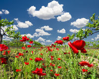 Red Poppies in a Texas Vineyard Stock Photography