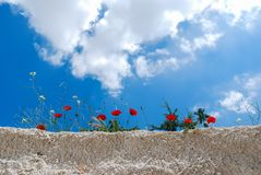Red poppy flowers against the sky royalty free stock photo