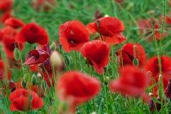 Red poppies in Tunari county , near Bucharest , Romania !. Red poppies on green background , near Bucharest, Romania Stock Image