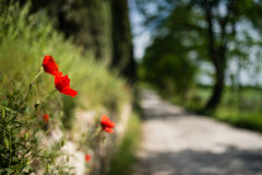 Red poppies with tuscan road lined with trees in the background Stock Images