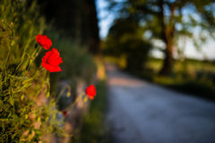Red poppies with tuscan road lined with trees in the background Royalty Free Stock Photos