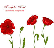 Red poppies. Vector illustration of red poppies on white background Royalty Free Stock Images