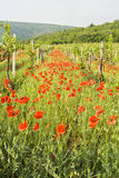 Red poppies in vineyard Stock Image