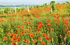 Red poppies and vineyard Stock Photos