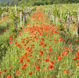 Red poppies with vineyard Royalty Free Stock Images